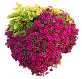 Pentunia Hanging Basket stock images