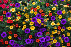 Pentunias Background Royalty Free Stock Images