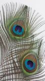 Peocock fjädrar Royaltyfri Foto
