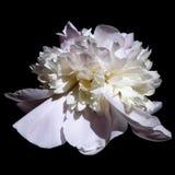 Peonía azul y blanca de la flor Foto de archivo libre de regalías