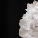 Peonía, black&white Fotos de archivo