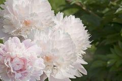 Peonía blanca en el jardín foto de archivo