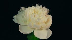 Peonía blanca que florece Timelapse 4k almacen de video