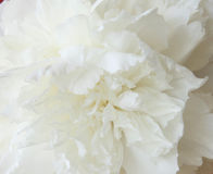 Peonía blanca y macro Fotografía de archivo libre de regalías