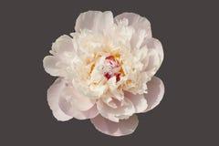 peonía Blanco-rosada aislada fotos de archivo