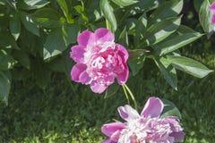 Peonía de Georgeous en una plena floración Foto de archivo libre de regalías