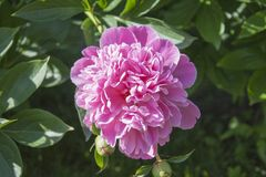 Peonía de Georgeous en una plena floración Imagen de archivo