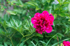 Peonía de Georgeous en una plena floración Foto de archivo