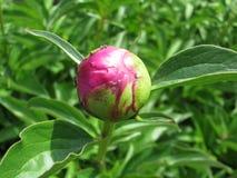 Peonía de la flor Imagen de archivo
