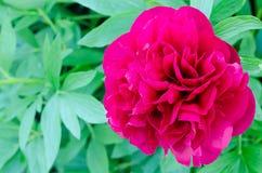 Peonía de la flor Fotografía de archivo