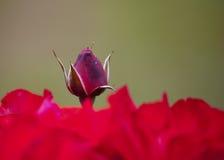 Peonía de la rosa del rojo Fotografía de archivo