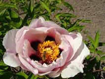 Peonía del árbol en cierre de la flor para arriba Crecimiento de flores rosado de la peonía en el jardín, fondo floral Abeja en l Fotos de archivo