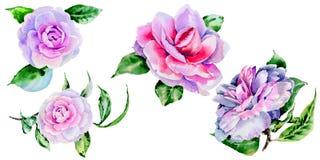 Peonía del Wildflower, flor del camelia en un estilo de la acuarela aislada Imágenes de archivo libres de regalías