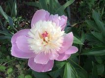 Peonía doble del rosa y blanca Imagen de archivo libre de regalías