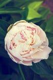 Peonía floreciente en el jardín Imágenes de archivo libres de regalías
