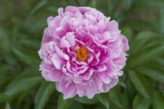 Peonía floreciente en verano Imagen de archivo libre de regalías