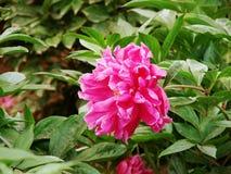 peonía herbácea Foto de archivo
