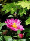 peonía herbácea Imágenes de archivo libres de regalías