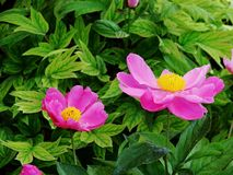 peonía herbácea Fotografía de archivo libre de regalías