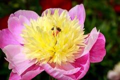 Peonía hermosa en flor lleno Foto de archivo