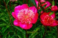 Peonía hermosa en flor lleno Imágenes de archivo libres de regalías
