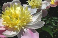 Peonía multicolora (Paeonia) Fotografía de archivo libre de regalías