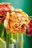 Peonía o Finola Double Tulip en fondo verde imagenes de archivo