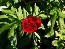 Peonía roja en el jardín Fotografía de archivo libre de regalías