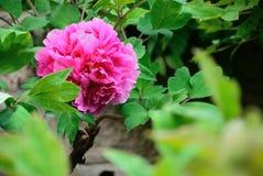 Peonía roja en la plena floración Fotos de archivo