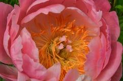 Peonía rosada fotos de archivo