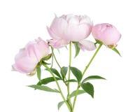 Peonía rosada Imagenes de archivo
