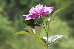 Peonía rosada Fotografía de archivo libre de regalías