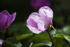 Peonía rosada Fotografía de archivo