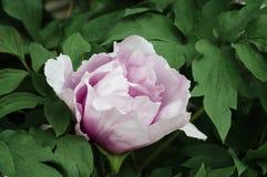 Peonía rosada Foto de archivo libre de regalías