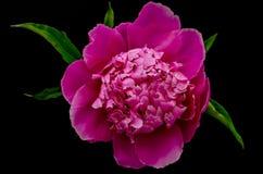 Peonía rosada imagen de archivo