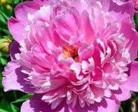 Peonía rosada Foto de archivo