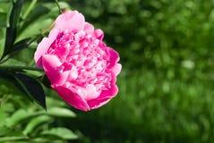 Peonía rosada asombrosa Imagen de archivo libre de regalías