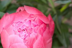 Peonía rosada con cerrado imagen de archivo