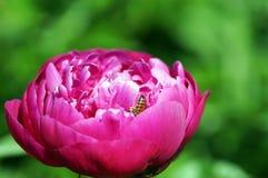 Peonía rosada con una abeja Fotografía de archivo libre de regalías