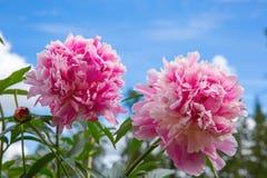 Peonía rosada dos en fondo del cielo azul Fotos de archivo