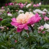 Peonía rosada en el jardín Imagenes de archivo