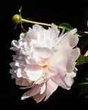 Peonía rosada en la floración Imagen de archivo