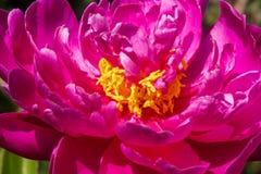 Peonía rosada floreciente imagen de archivo libre de regalías
