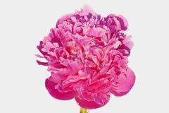 Peonía rosada-lilak (suffruticosa de Peonia) isoleted foto de archivo
