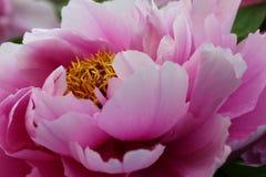 Peonía rosada - primer Imágenes de archivo libres de regalías