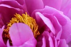 Peonía rosada - primer Foto de archivo libre de regalías