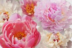 Peonía rosada y blanca imagenes de archivo