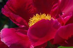 Peonía vinosa en jardín Fotografía de archivo