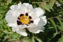 Peonía y abeja blancas Fotografía de archivo libre de regalías