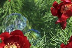 Peonía y burbuja salvajes Foto de archivo libre de regalías